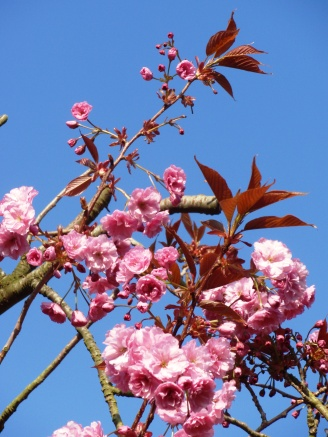 Plumtree blossom copyright M. McGoverne